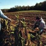 Tobacco contract cuts hurt Surry County farmers