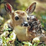 Fawns and other young wildlife — look, but don't touch