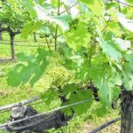 The journey of Stony Knoll Vineyards