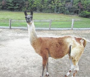 Ridenour Ranch celebrates National Alpaca Farm Day